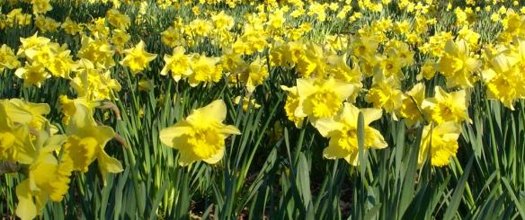 Hagley Park Daffodils